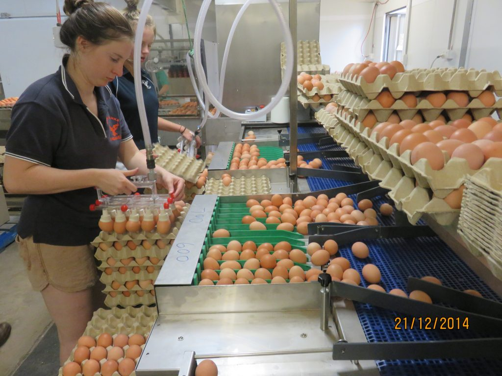 Working the egg packers