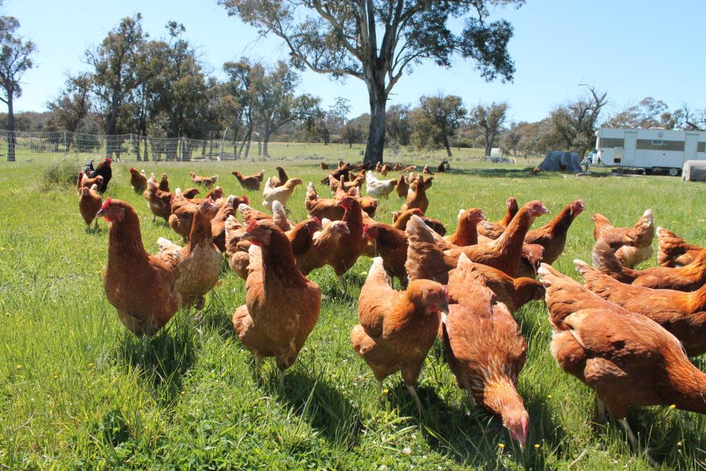 Happy hens at Farmer Browns Free Range Eggs