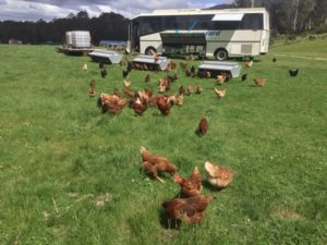 Chicken caravans and a disused bus are used for perching and laying.